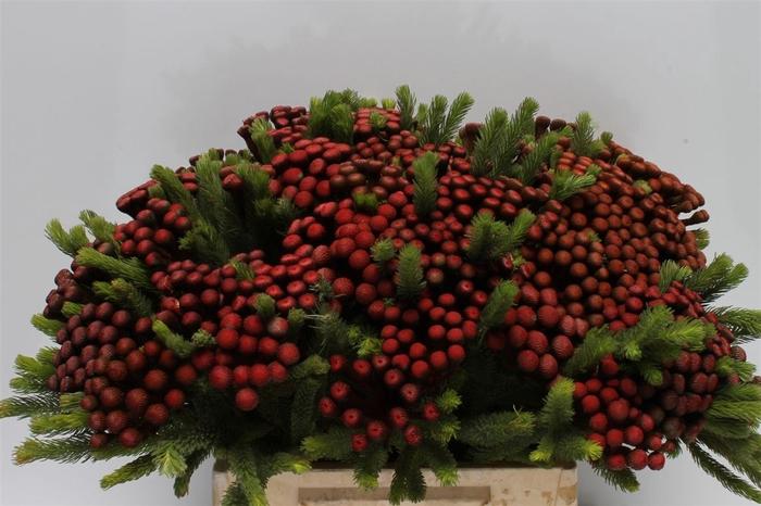 <h4>Kaaps Albiflora M Red</h4>
