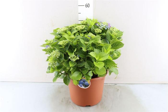 <h4>Hydran Macrophylla</h4>