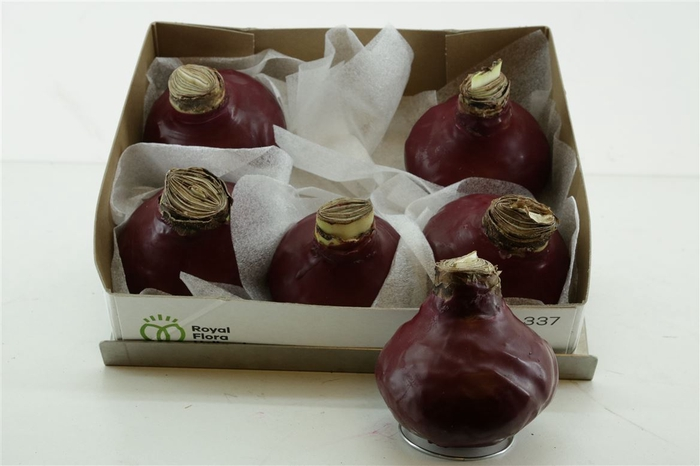 <h4>Z Amaryllis Bordeaux Wax</h4>
