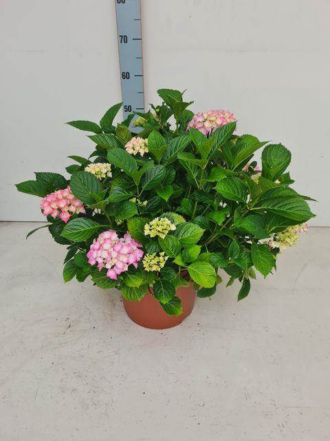 <h4>Hydrangea Macrophylla</h4>