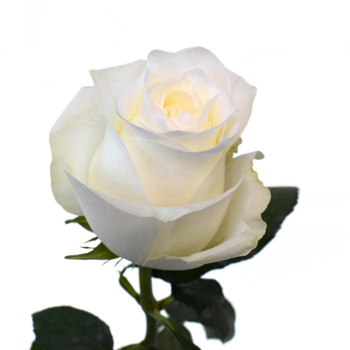 <h4>Rose Proud</h4>