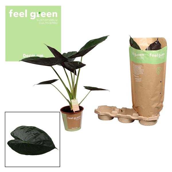 <h4>Alocasia Wentii  Feel Green</h4>