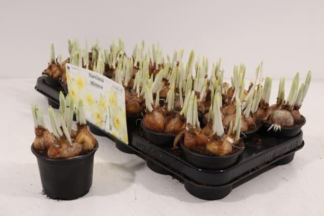 <h4>Narcissus TA 'Minnow'</h4>