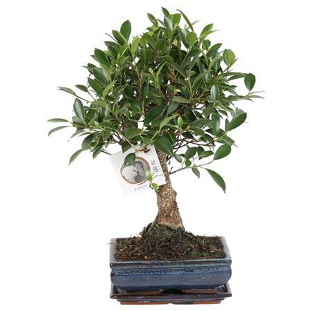 <h4>Bonsai A1201001fi Ficus Retusa Keramiek</h4>
