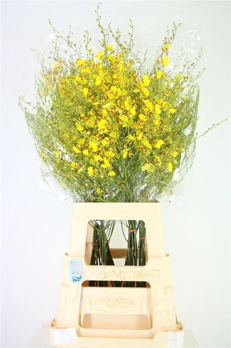 <h4>Golden Wish Xl</h4>