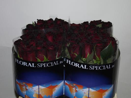 R Gr Black Baccara 25