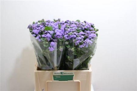<h4>AGER H BLUE HORIZON</h4>