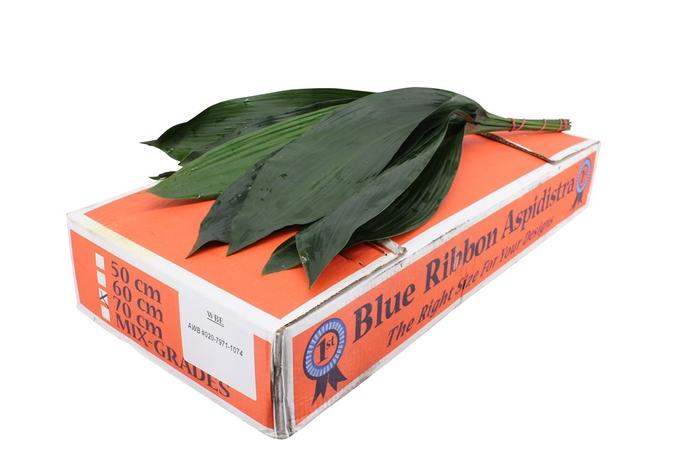 Aspidistra 70 Blue Ribbon