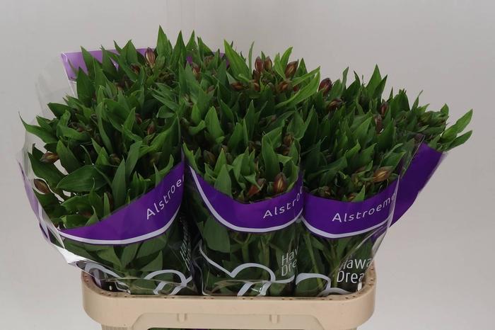 <h4>Alstroemeria Hawaiian Dream</h4>