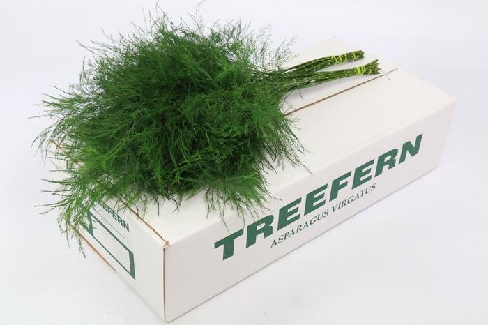 <h4>Treefern</h4>