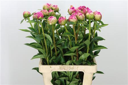 <h4>Paeonia Pink Jazz</h4>
