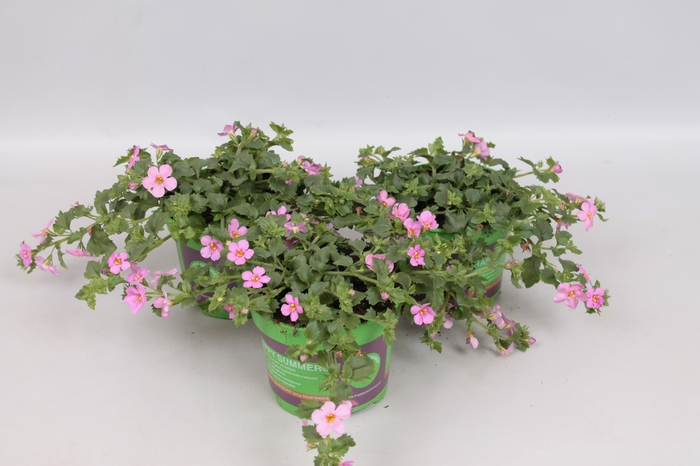 <h4>Bacopa Scopia Great Pink Beauty</h4>