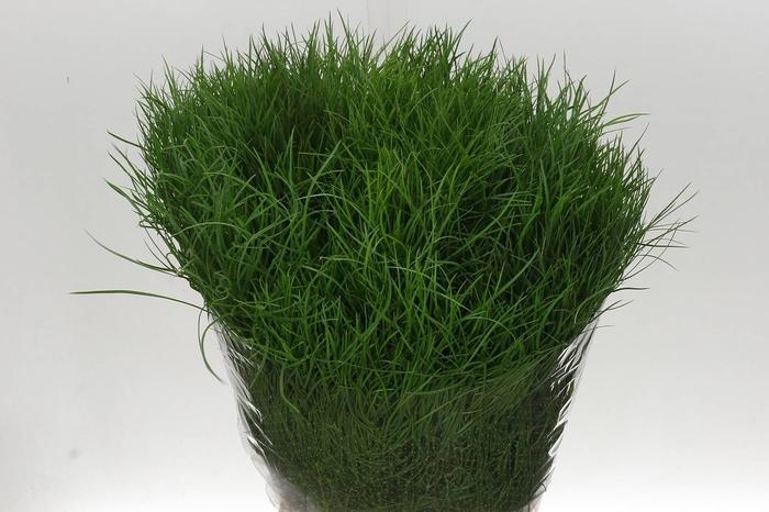 <h4>Asparagus Coralla Ex (kattegras)</h4>
