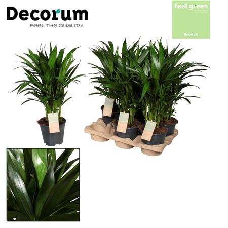 <h4>Dypsis Lutescens Feel Green</h4>