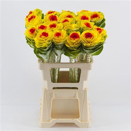 <h4>Brassica Yellow-orange</h4>