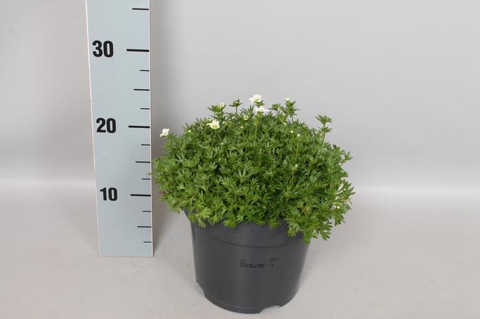 <h4>vaste planten 19 cm  Saxifraga white</h4>