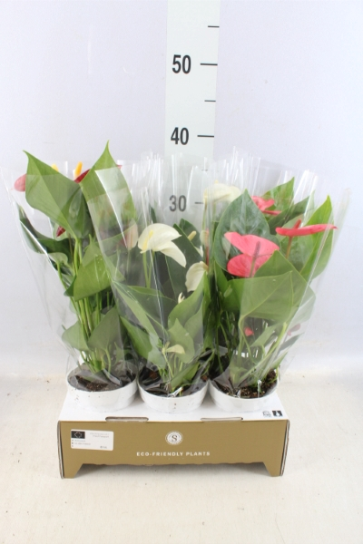<h4>Anthurium andr.   ...mix  3</h4>