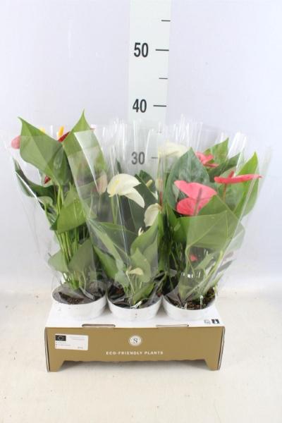 <h4>Anthurium andr.   ...mix  3</h4>