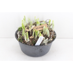 arr.. Narcis MB - Zinkschaal black hoog