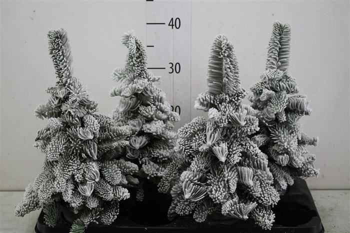 <h4>Sneeuwboom Wax</h4>
