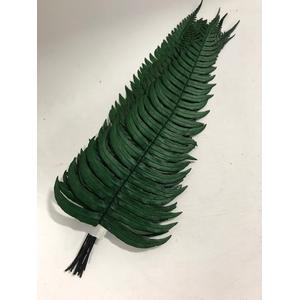 Rock fern 30/35cm