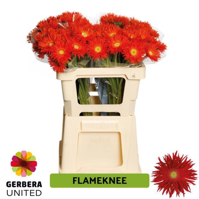 <h4>GE GS FLAMEKNEE</h4>