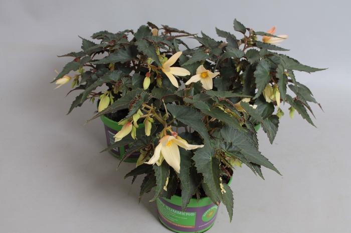 <h4>Begonia Bossa Nova Yellow</h4>
