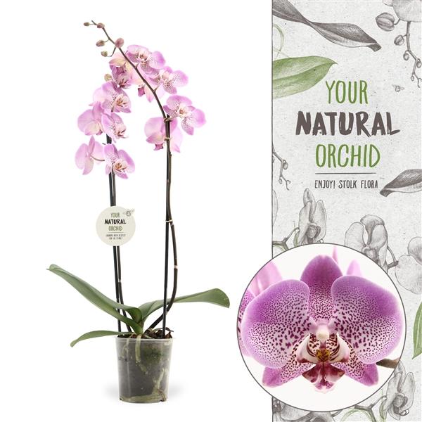 <h4>Phalaenopsis Jillion</h4>