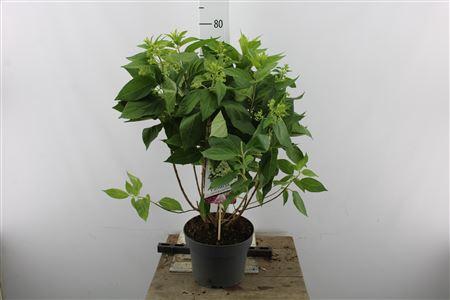 <h4>Hydr Paniculata Pandria 12+</h4>