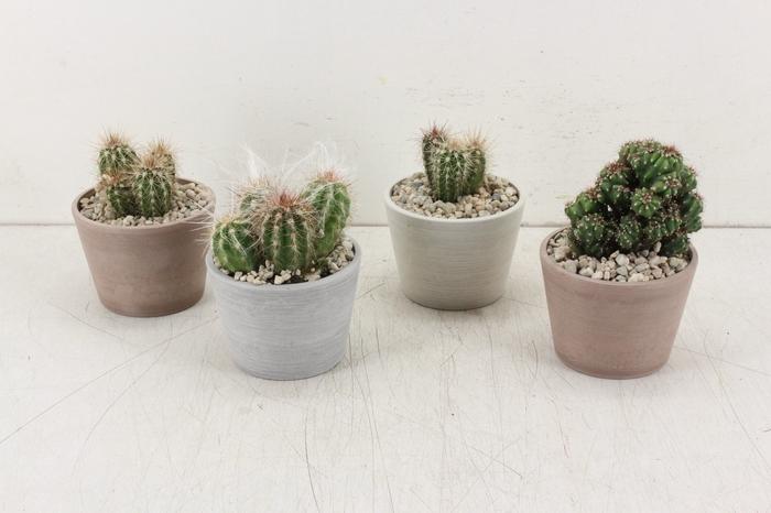 <h4>arr. PL - Potje cactus kl.</h4>