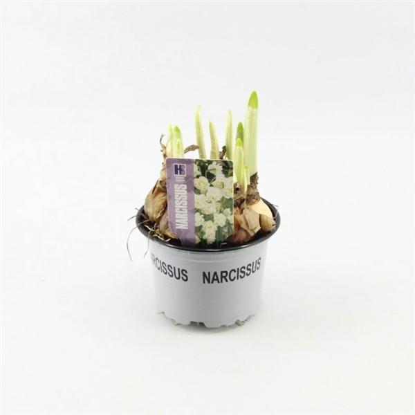 <h4>Narcissus Bridal Crown</h4>