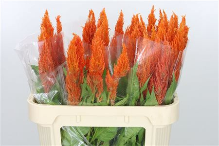 <h4>Celosia Plume Orange Sunday</h4>