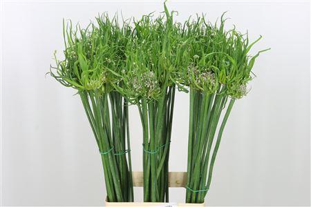 <h4>Allium Fido Dido</h4>