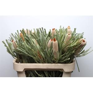 Banksia Hookeriana Small