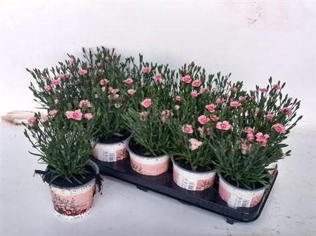 <h4>Dianthus Di Pe Party</h4>
