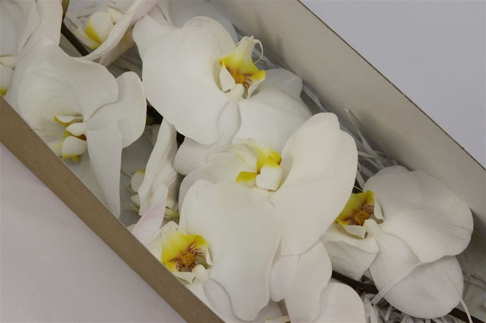 <h4>Phalaenopsis Kobe</h4>