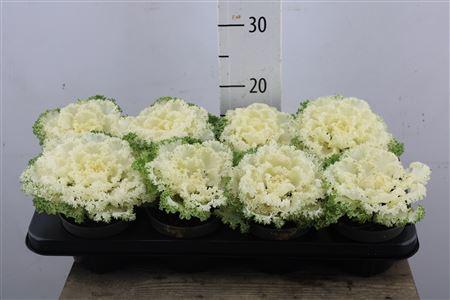 <h4>Brassica Curly White</h4>