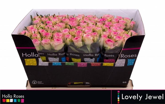 <h4>Rosa grootbloemig De Ruiter's Lovely Jewel</h4>