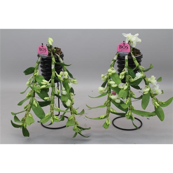 <h4>Dendrobium Nobilé, Special Flower Shower</h4>