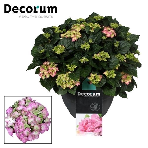 <h4>Hydrangea Pink in sierpot 20+ kop (Decorum)</h4>