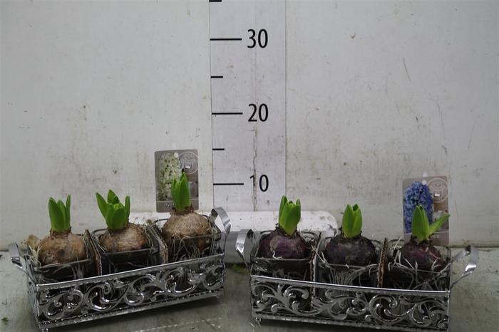<h4>Hyacinth Mix 3801 Dienblad Glas 3pp</h4>