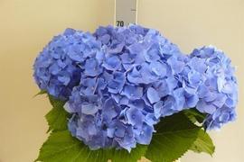 <h4>Hortensia Hyd Bella Blue</h4>