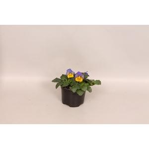 Viola cornuta F1 Morpho