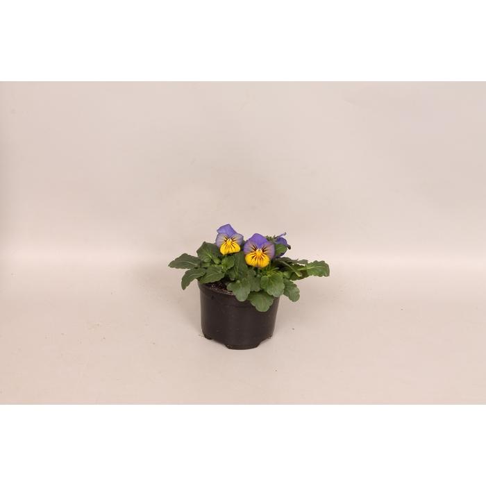 <h4>Viola cornuta sixpack F1 Morpho</h4>