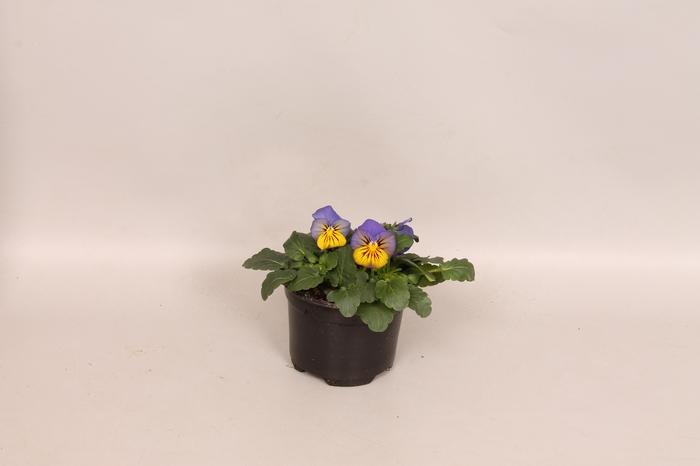 <h4>Viola cornuta F1 Morpho</h4>