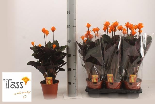Calathea Crocata 14Ø 35cm 5fl