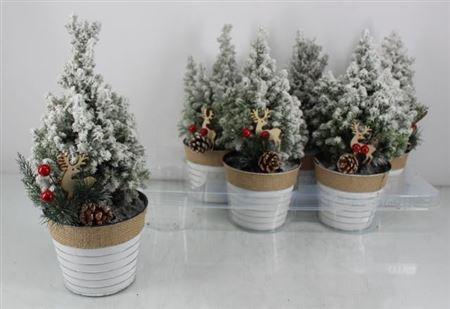 <h4>Chamaecyparis Sneeuw L Ellwooddi In Pot</h4>