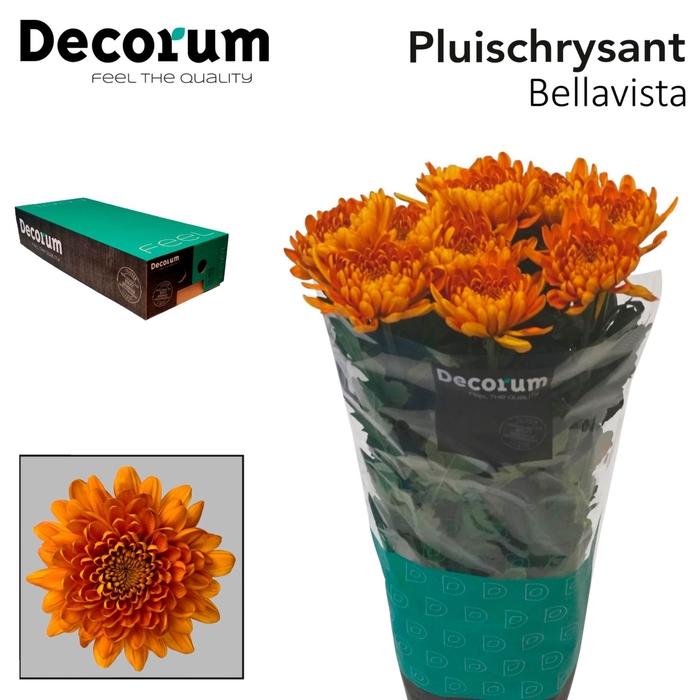 <h4>Chrysanthemum PL 'Bellavista'</h4>