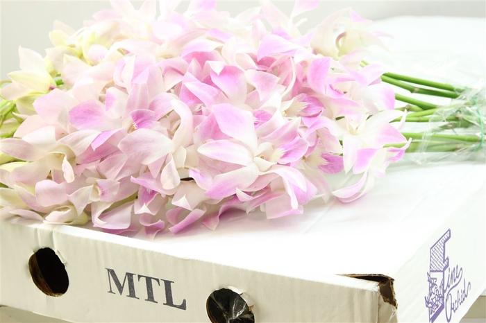 <h4>Dendrobium Rosa ( Mtl )</h4>