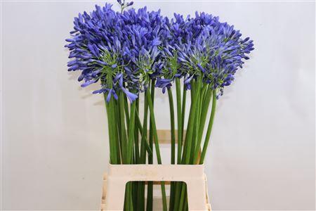 <h4>Agap Blue Heaven</h4>